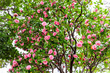 Camellia Japonica Japanese Pin...