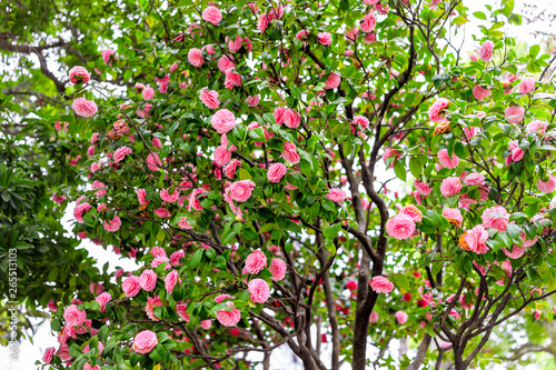 Vászonkép Camellia japonica Japanese pink flowers on tree in Japan in spring in Sumida par