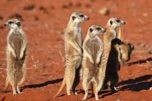 Wachsame Erdmännchenfamilie (suricata Suricatta) In Der Kalahari In Namibia