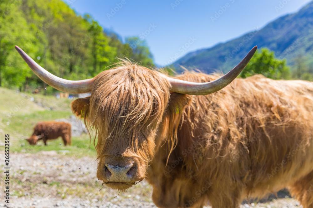 Fototapeta Close up of scottish highland cow in field