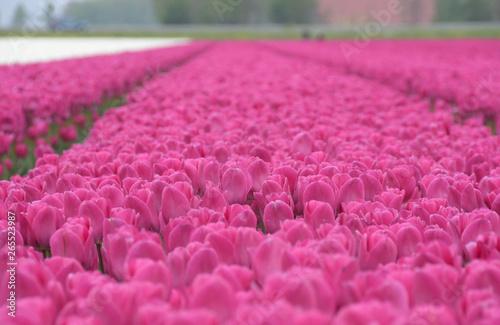 Im Tulpenacker in Holland Fototapeta