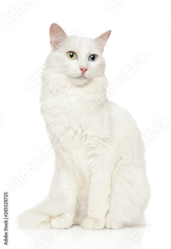 Turkish Angora cat sits in front of white background Canvas Print