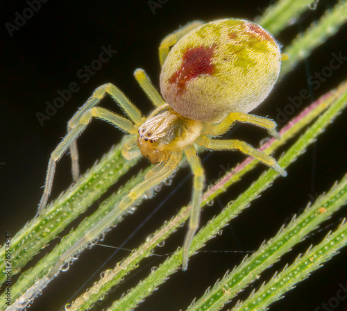 Nigma puella spider posing on wheat spike Wallpaper Mural