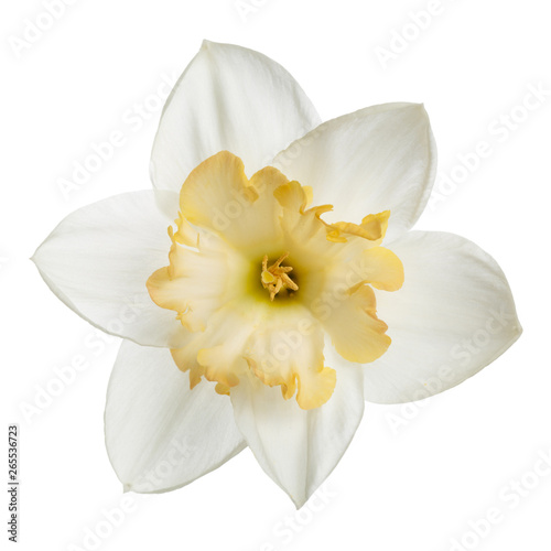 Papiers peints Narcisse Bright-flower with yellow center of narcissus Isolated on white background.