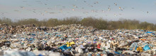 Gulls Over A Pile Of Garbage.