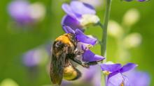 Bumble Bee Species Feeding / P...