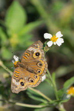 Buckeye Butterfly Feeding On A...