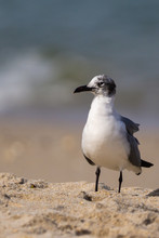 Scruffy Seagull Standing On The Beach At Canaveral National Seashore Florida