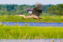 Great Blue Heron - Flying In Lakes And Wetlands In The Crex Meadows Wildlife Area