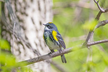 Yellow-rumped Warbler On Minne...