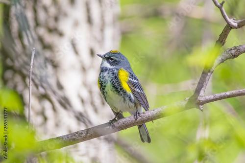 Fotomural Yellow-rumped warbler on Minnehaha Creek in the Spring - Minneapolis, Minnesota