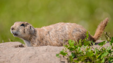 Cute Furry Prairie Dog On The Lookout To Communicate With Community Outside A Ground Hole - Portrait Taken On A Summer Day In Badlands National Park