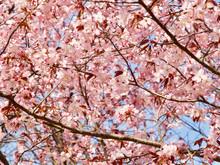 Beautiful Cherry Blossom Sakura In Spring Time Over Blue Sky In Helsinki, Finland, Europe
