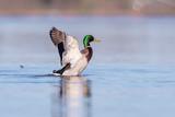 Male mallard spreading wings in lake in morning sunlight. Side view. - 265545171