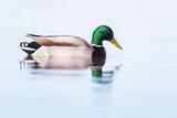 Male mallard swimming in lake in morning sunlight. Side view. - 265545172