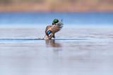 Male mallard spreading wings in lake in morning sunlight. Side view. - 265545177