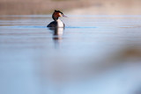 Great crested grebe in lake in morning sunlight. Side view. - 265545183