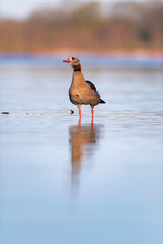 Egyptian Goose Standing In Lak...