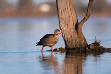 Egyptian Goose Standing Near T...