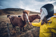 Pretty Woman Feeding A Horse In Iceland.