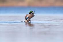 Male Mallard Spreading Wings I...