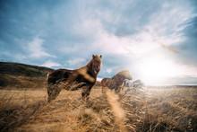 Icelandic Horses Posing In Bea...