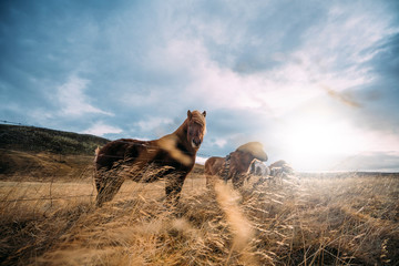 Icelandic horses posing in ...