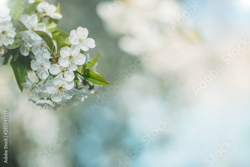 Fototapety, obrazy: spring background blooming tree on a sunny day