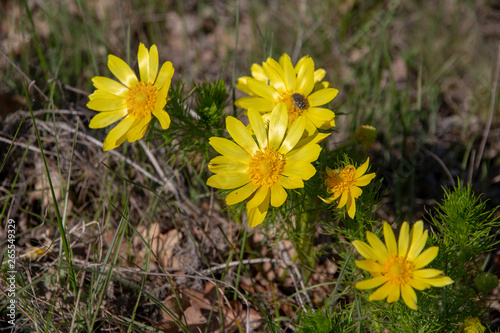 Photo Adonis yellow wild.