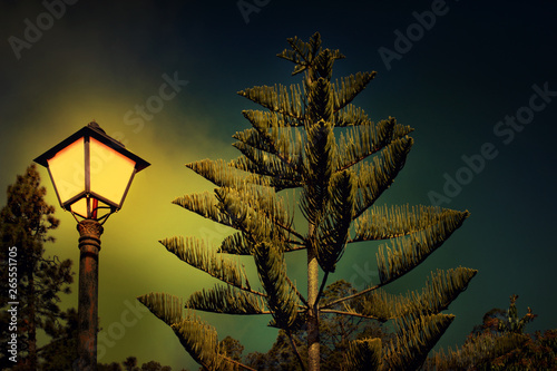 Pine and Street Lamp at Night