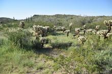 Arizona's Teddy Bear Cholla Cactus.  Nickname: Jumping Cactus.