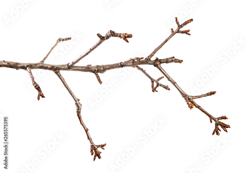 Fotografia  Branch of pear fruit tree with bud on isolated white background