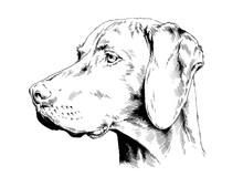 Pedigree Dog Drawn In Ink By H...