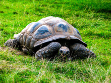 A Large Lazy Turtle Eats Grass...