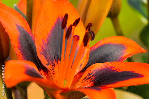 Fotografie, Obraz  A beautiful orange Lily (Lily Allen) in full flower in the spring sunshine