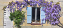 Wisteria Blooming In Spring Ag...