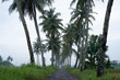 beautiful coconut country road in the morning