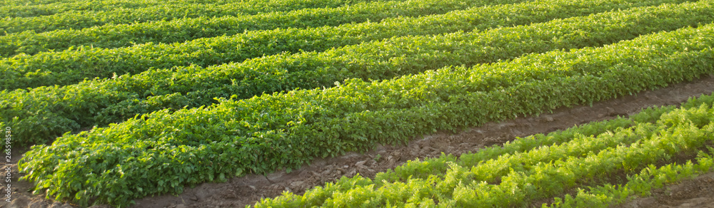 Fototapeta Carrot plantations grow in the field. Agriculture. Organic vegetables. Vegetable rows. Farming. Banner. Selective focus