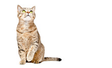 Curious Cat Scottish Strait Si...