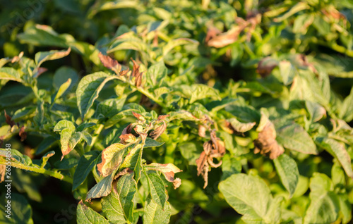 Photo Potato bushes affected by Phytophthora (Phytophthora Infestans) In the field