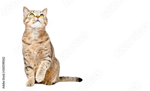 Canvas Print Curious cat Scottish Strait sitting with raised paw and looking up isolated on w
