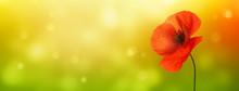 Beautiful Poppy In Sunshine