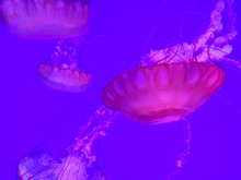 Jellyfish At Ripley's Aquarium