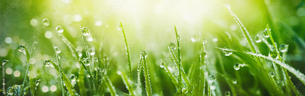 Fototapeta Juicy lush green grass on meadow with drops of water dew in morning light in spring summer outdoors close-up macro, panorama. Beautiful artistic image of purity and freshness of nature, copy space.