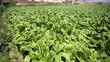 Fresh organic lettuce seedlings in plants outdoors