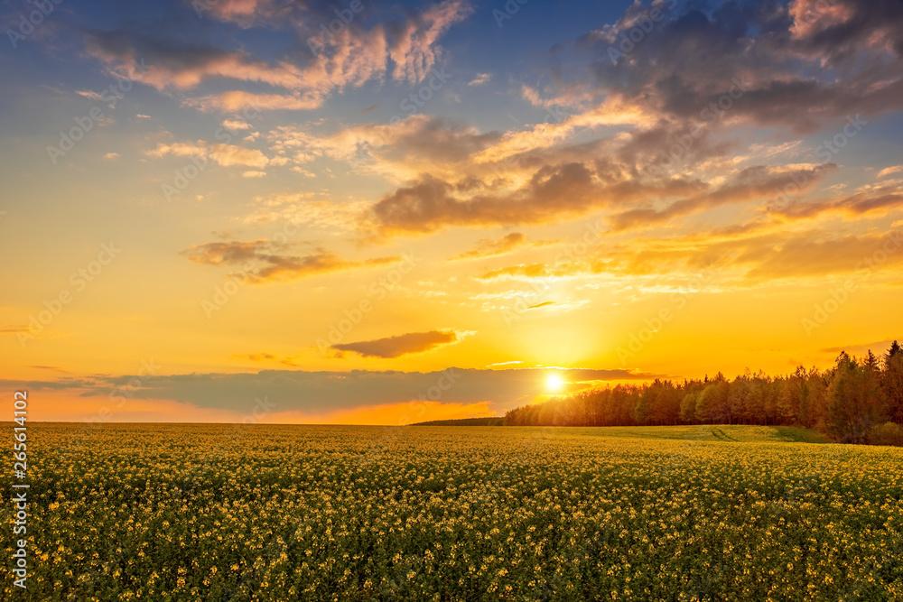 Fototapety, obrazy: Krajobraz, piękny zachód słońca nad polem rzepaku w okolicach Krynek, Podlasie
