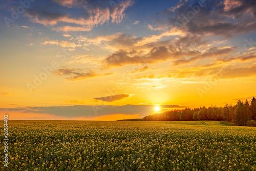 Obraz Krajobraz, piękny zachód słońca nad polem rzepaku w okolicach Krynek, Podlasie - fototapety do salonu