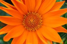 Centre Orange Fleur De Gazania