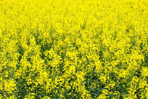Montage in der Fensternische Gelb Rape Field Rapsfeld Raps. Beautiful Landscape.