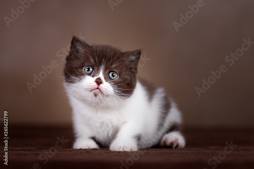 Fototapety, obrazy: Britisch Kurzhaar Katzenkind Kitten in chocolate-white